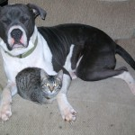 LOST: Blue/White American Pit Bull Terrier Male