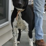 FOUND: Black/White Lab Mix Female-recently Spayed